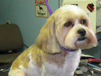 After: done in a #4 Teddy Bear trim (aka; Puppy cut) with trimmed ears and tail