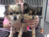 Some rescue pomeranians we groomed. We donated some of our services to Thurston County Animal Services to care for 15 of these little guys. They have all gone onto new homes now!