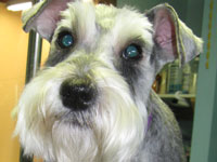 After: done in a regular #7 Schnauzer trim