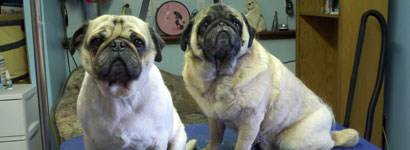 Before and After Pugs: Right natural Pug, on the left, shaved Pug.