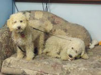 Before: Miniature Labradoodles
