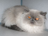 Before: Persian cat