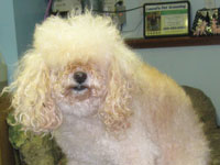 Before: male apricot Miniature Poodle