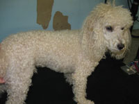 Before: male Miniature Poodle