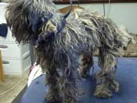 Before: Schnauzer mix that has not had a hair cut for more than a year