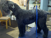 Murphy the most perfect Kerry Blue terrier ever!