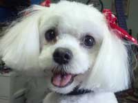 Maltese with a short face and cute bows