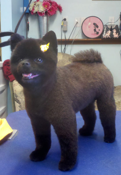 Berühmt Pictures of Teddy Bear Cut Pomeranian Black - kidskunst.info @XC_34