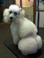 Toy Poodle in Royal Dutch