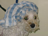 cute shot of poodle with towel